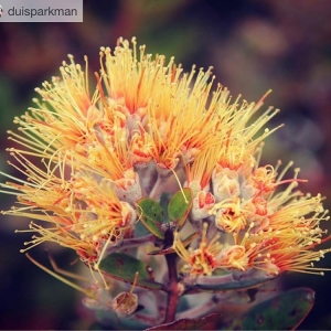 Latest Ohia at Hanaula Mahalo duisparkman for sharing photo ohiahellip