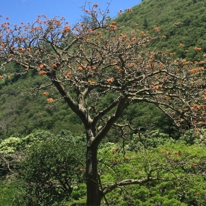Keystone species in a native Hawaiian dryland forest is thehellip