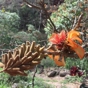 Beautiful flower from the wili wili tree in Honokowai Valleyhellip