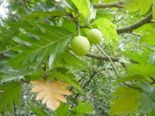 artocarpus-altilis-main