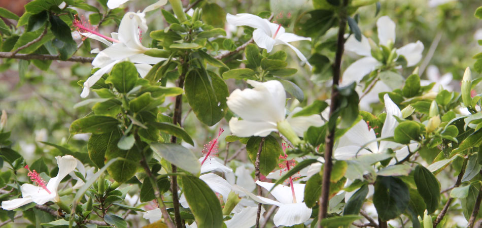 Hibiscus Waimea