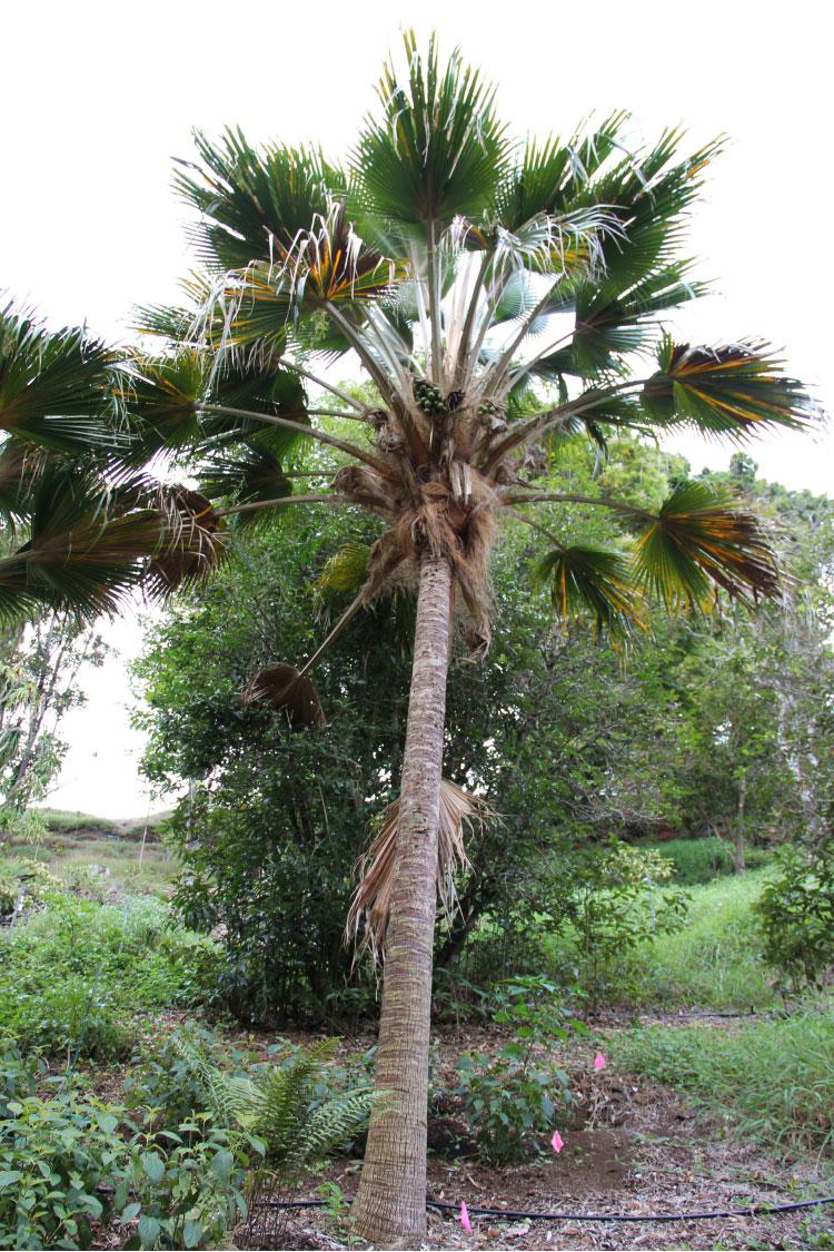 Pritchardia spp
