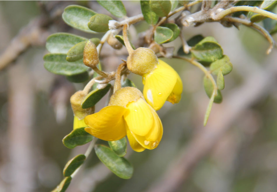 Sophora Chrysophylla
